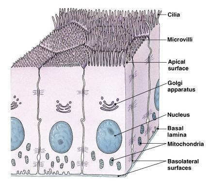 General Features Cellularity: closely packed cells with little extracellular material Polarity: have apical and basal surfaces Attachment: basal surface attached to basal lamina (basement membrane)