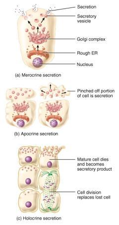 Modes of Secretion Merocrine -- most glands cells release their products by exocytosis mucus Apocrine upper