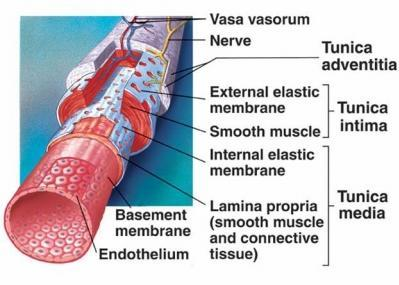 Covering/Lining Epithelium Faces a space such as the lumen of a blood vessel or intestine.