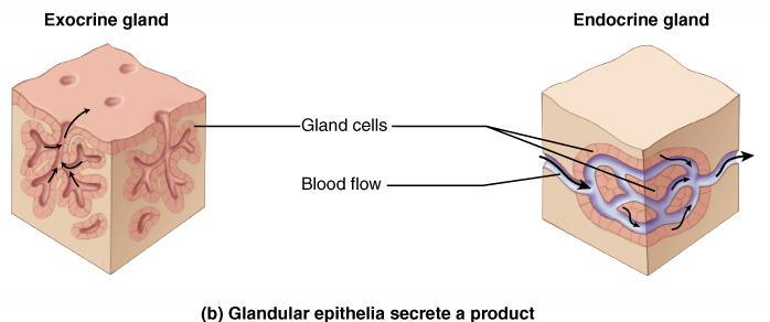 Glandular Epithelium a. Exocrine b.