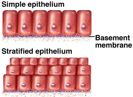Epithelial Tissue Types Layers : Simple - single layer provides a selective barrier allowing diffusion, filtration, secretion, and absorption.