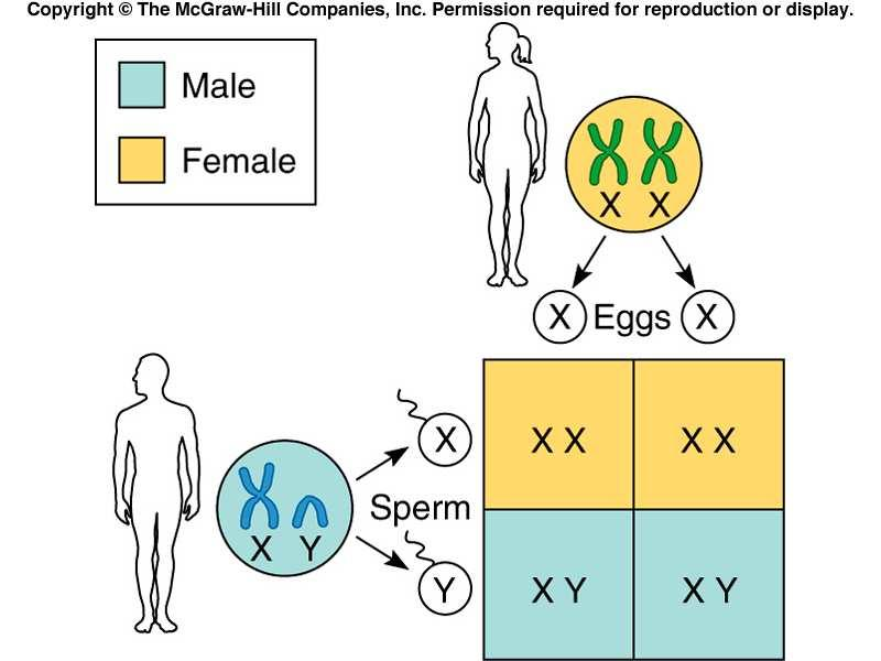 GENDER 2005-2008 James Bier Objectives 1. State the method of determining gender in several genetic systems. 2. List the three regions of the Y chromosome. 3.