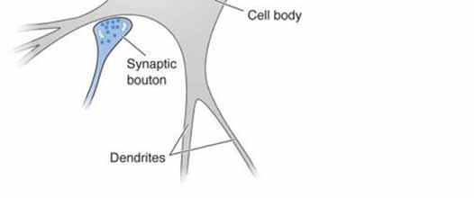 Neurons communicate electrically & chemically The