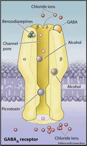 Alcohol acts at GABA receptor-ion