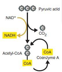 The Kreb s Cycle In order to enter the Kreb s Cycle, pyruvate must be