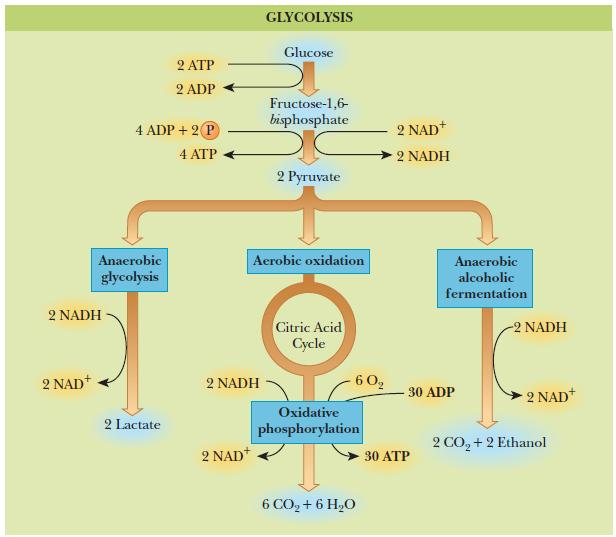 Glycolysis Oxidation of glucose or glycogen to