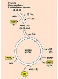 accounting so far Glycolysis 2 Kreb s cycle 2 Life takes a lot of energy to run, need to extract more energy than 4! There s got to be a better way!