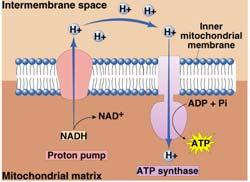 Chemiosmosis The diffusion of ions across a membrane build up of proton gradient just so H+ could flow through synthase enzyme to
