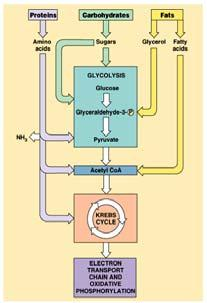 Krebs cycle as acetyl CoA Metabolism Coordination of chemical processes across whole organism