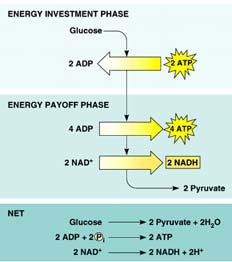 verview 10 reactions convert glucose (6C) to 2 pyruvate (3C) produces: 4 & 2 consumes: 2