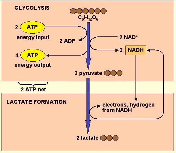 Cell Respiration - 12 Lactic Acid Fermentation NADH -----> NAD + Pyruvate --------------------> Lactic Acid Alcoholic Fermentation NADH -----> NAD +