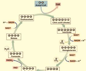 Cell Respiration - 7 A closer Look at the Krebs Cycle Any cycle requires a substance to start the cycle (which will also be the end of the cycle).