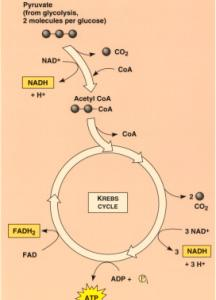 The enzymes needed to do the Krebs cycle are located in the mitochondrial matrix. Acetyl-CoA combines with oxaloacetic acid to begin the cycle forming the 6- carbon citric acid (citrate).