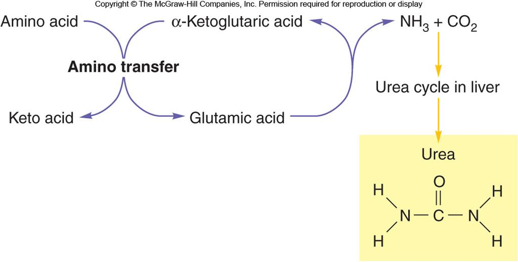 Transamination Oxidative Deamination If there are more amino acids than needed, the amine group can be stripped and excreted as urea in the urine.