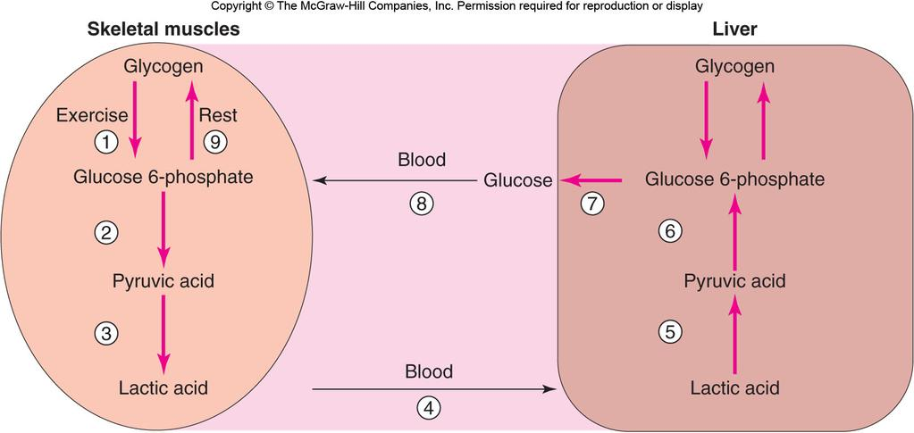 Glycogenolysis in the Liver Glucose from glycogen is in the form glucose 1-phosphate, so cannot leave muscle or heart cells.