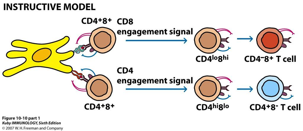 ) - pre-tα (surrogate chain) inducesβ-chain rearrangement (apoptosis of cells that fail to rearrange β chain correctly) -Expression of pre-tcr (surrogate α chain) -Expression of CD4 and CD8 (to form
