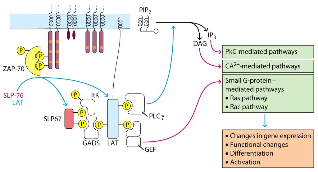- Activation of ZAP-70 initiates a cascade of events that results in phosphorylation of ADAPTOR molecules such as Linker of Activated T cells (LAT) activation and phosphorylation (activation) of