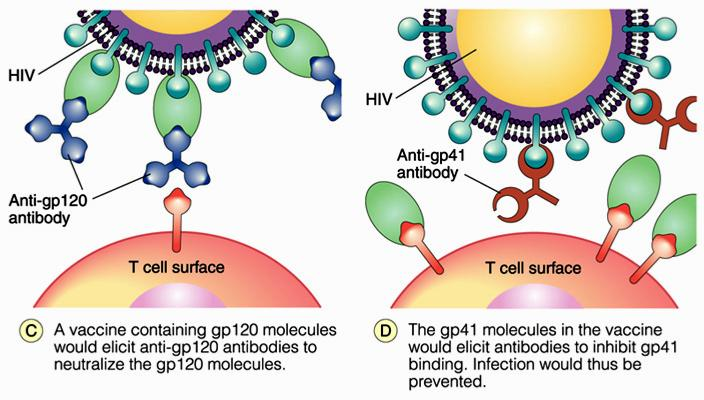 Upon exposure to HIV, antibodies bind to gp120 and gp41 and prevent it from binding to the T cells.