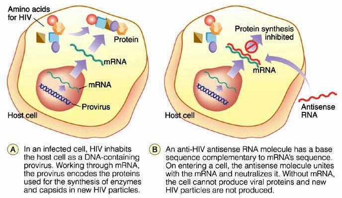Antisense molecules Might someday be useful to treat viral diseases (not yet clinical).