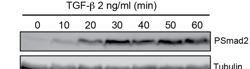 Fig. S2. Kinetics of Smad2 phosphorylation. Top panels: HaCaT cells were treated with 2 ng/ml or 0.