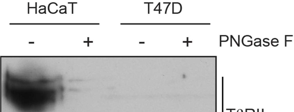 Fig. S4. Specificity of the TβRII antibody in Western blotting.