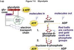Glucose 2 ATP During the remaining steps, four molecules of ATP are produced.