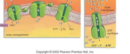 intermembrane space (= from the inner compartment to the outer compartment). How is ATP made using the ETC? 4.