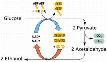 Alcohol Fermentation Occurs in yeast Pyruvate (3 carbon) is converted into acetaldehyde