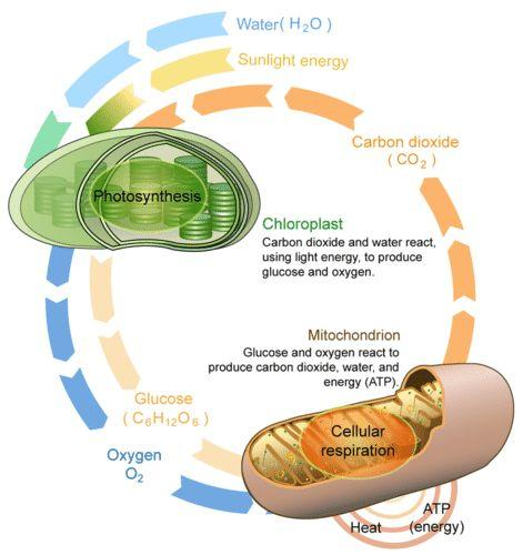Aerobic Respiration - introduction Is the complementing process to photosynthesis.