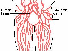 The organs of the immune system, positioned throughout the body, are called lymphoid organs.