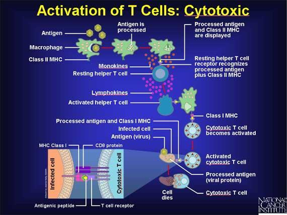 Destroying Infected Cells Activated helper T cells turn on the