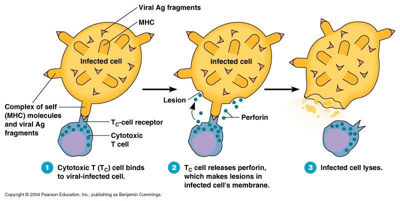 Destroying Infected Cells The infected cells die