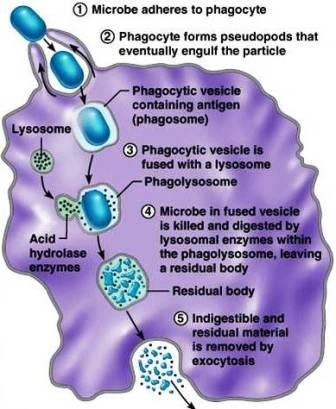 Removing Pathogens at Large These antigenantibody complexes are then