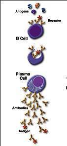 Summary The B cell response removes extracellular