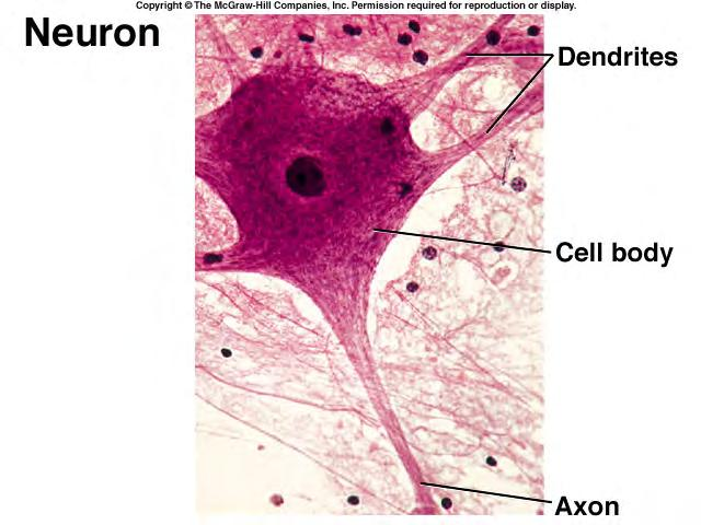 CELLS of the Nervous System 15 B. NEURON STRUCTURE (HOLE; p. 341) 1. The control center of the neuron is its soma (or perikaryon: cell body).