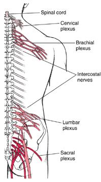 Nerve Plexus: Name of Plexus Nerves found in plexus Services what part of the body Cranial Nerve # Name of Cranial Nerve Function Type of Nerve I Sense of Smell II Sense of sight III Movement of