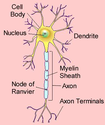 Nervous Tissue: Neurons Neuroglia 5 types of Neuroglial cells Structure of a Neuron: Cell Body: Dentrites: Axon: Myelin