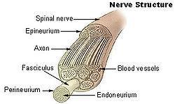 Peripheral Nervous System (PNS) All the rest of the nerves of your body Two branches o Nervous System o Nervous System Nerve Anatomy = covers nerve itself = covers