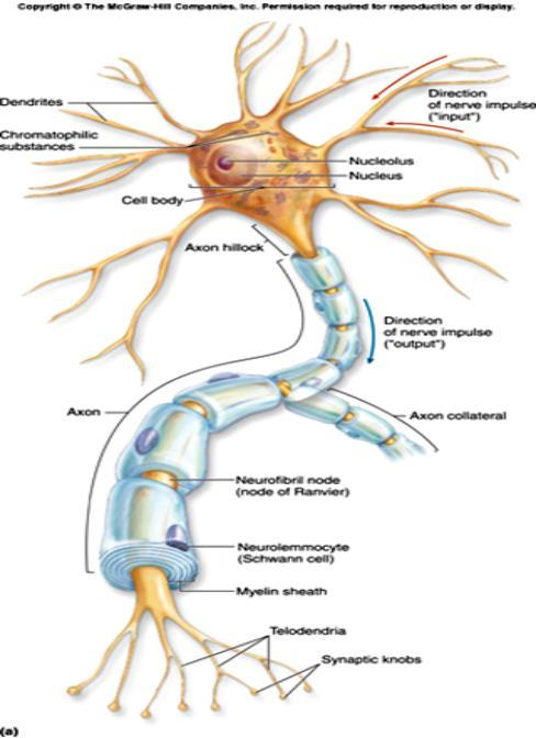 Axon - long section, transmits impulses Dendrite - small extensions from