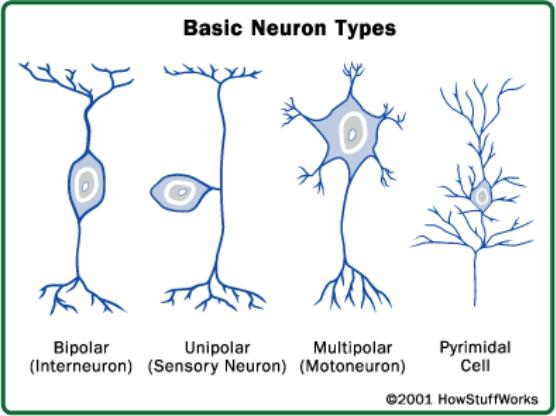 Types of Neurons Functional: Sensory, Motor,
