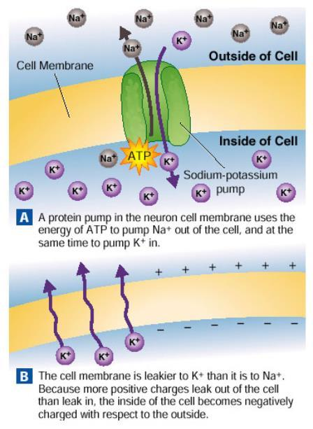 9.5 Cell Membrane Potential At rest, the inside of a neuron's membrane has a negative charge.