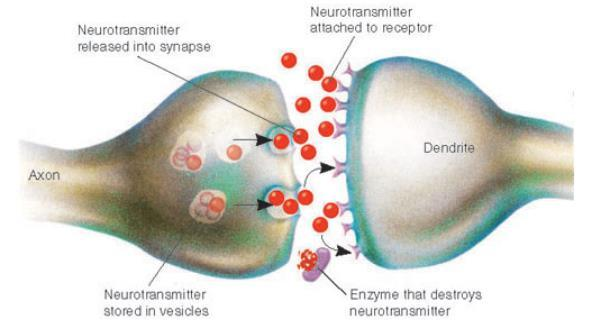 Neurotransmitters Excitatory - increase membrane permeability, increases chance for threshold to