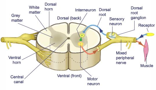9.9 Types of Nerves Sensory Nerves - conduct impulses into the brain or spinal cord Motor