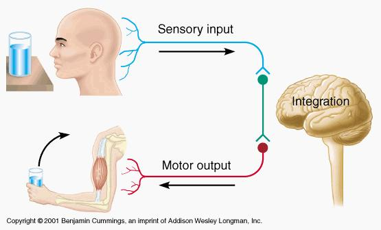 THREE BASIC FUNCTIONS OF THE NERVOUS SYSTEM Sensory - gathers info