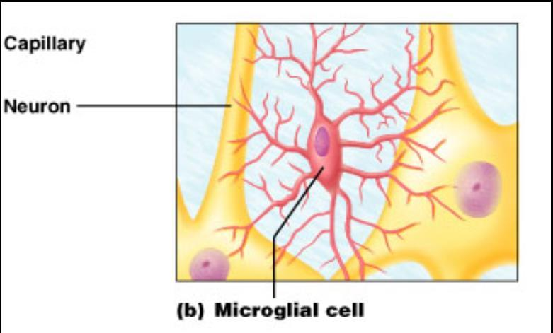 Microglial Cells: scattered throughout,