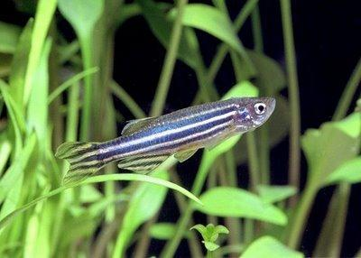 Model Organism Zebrafish Currently established model in the Traber/Tanguay laboratories Similar fatty acid