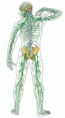 Body control systems Nervous system Nervous system Quick Sends message directly to target organ Endocrine system