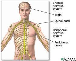 regulate body activities The Nervous System Controls the muscular system Works with the endocrine system to