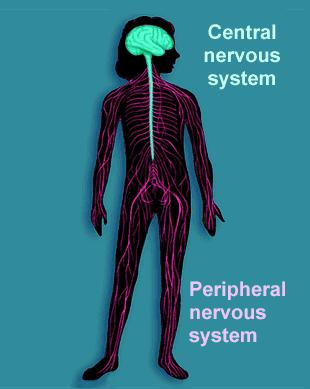 and spinal cord The peripheral (PNS) nerves that carry signals into and out of the CNS Organization of Nervous