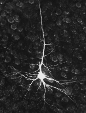 peripheral (PNS) nerves that carry signals into and out of the CNS Neurons cells specialized for carrying